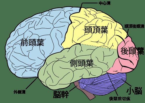 外側から見た大脳皮質の解剖-min